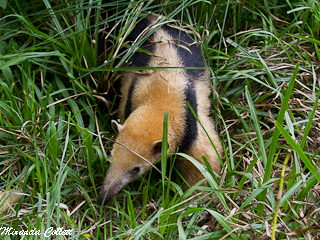 Tamandua at Reserva Don Luis