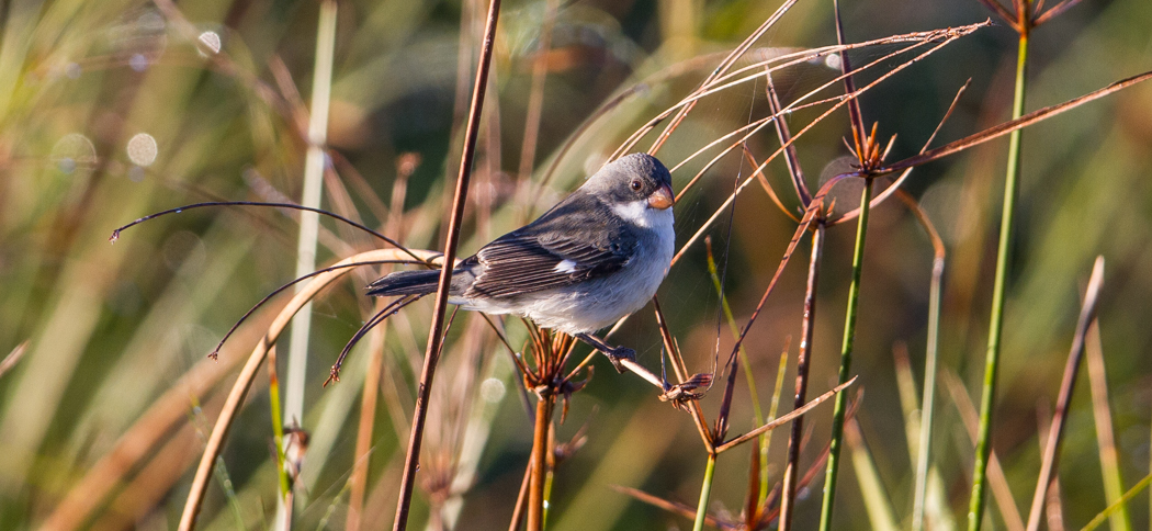 White-bellied Seedeater (Sporophila leucoptera)
