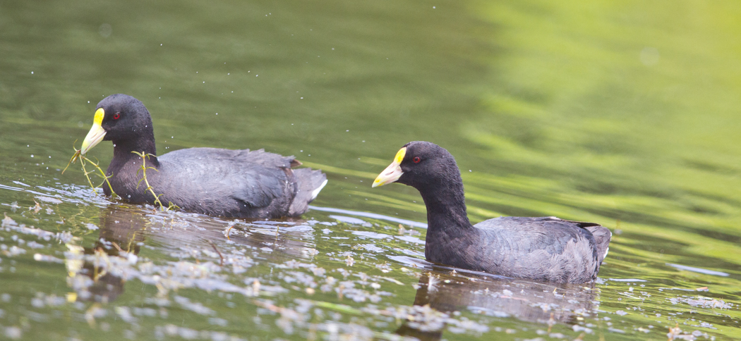 White Winged Coot (Fulica leucoptera)
