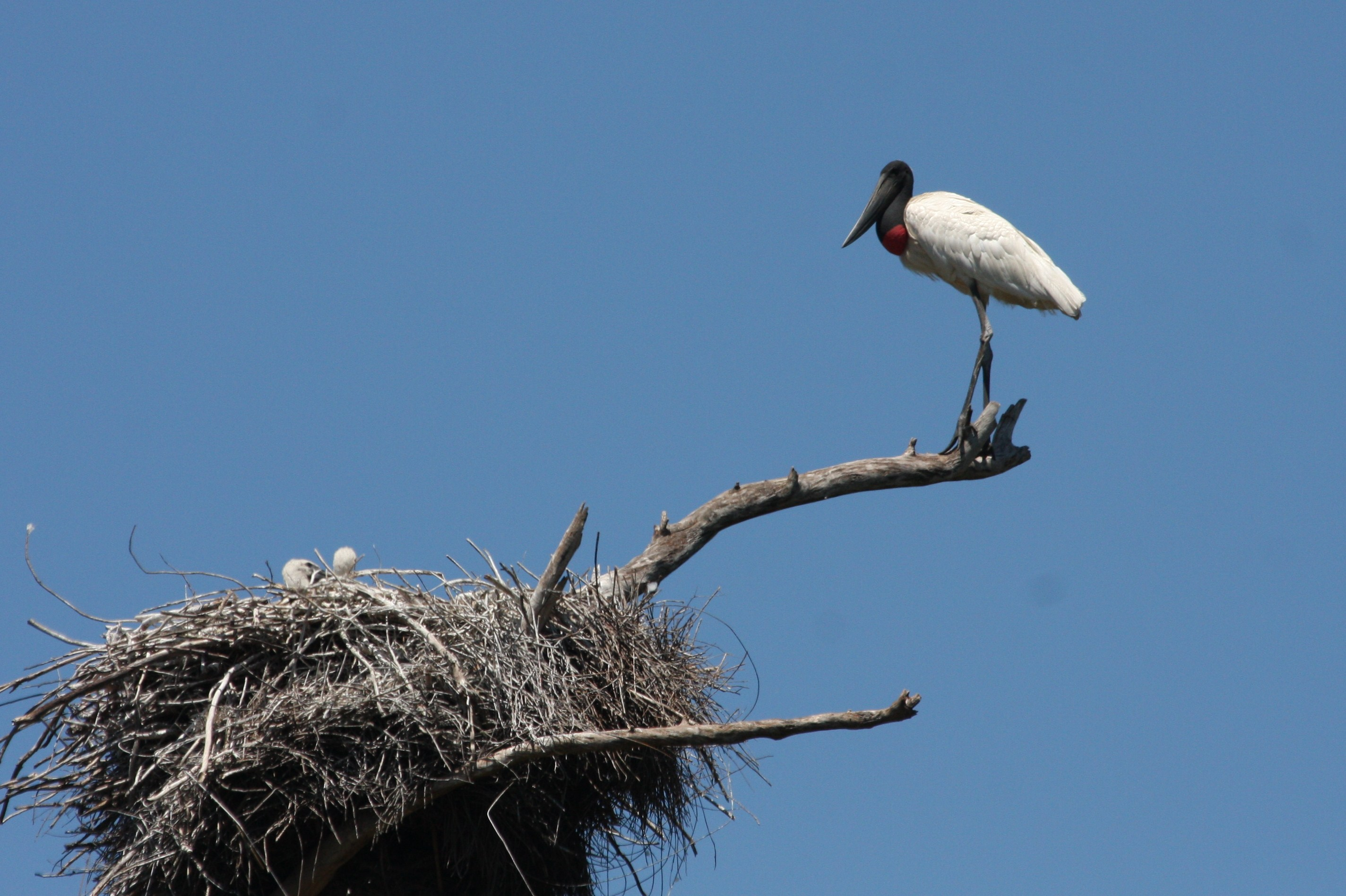Jabiru nest with 2 young