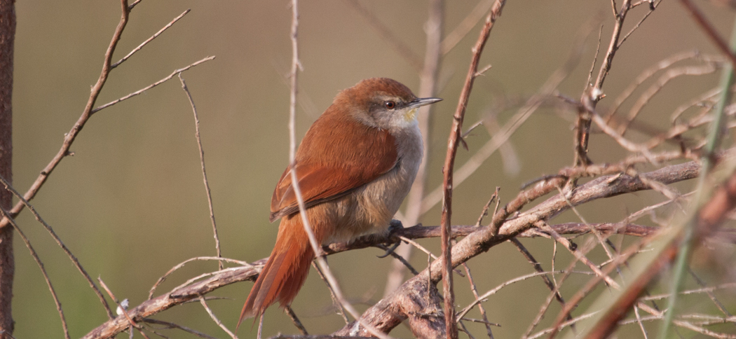 Yellow-throated Spinetail