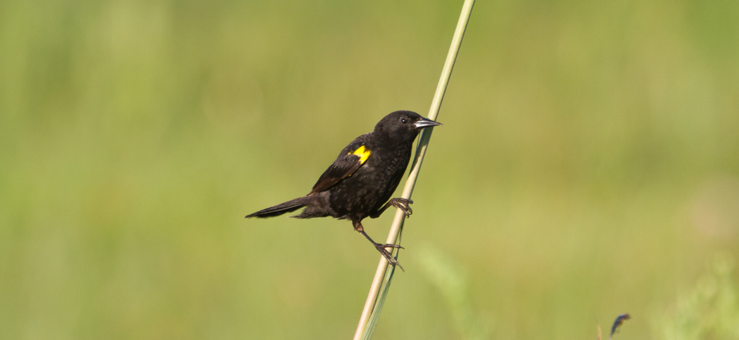 Yellow-winged Blackird (Agelaius thilius)